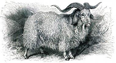 Angora goat - Capra angorensis