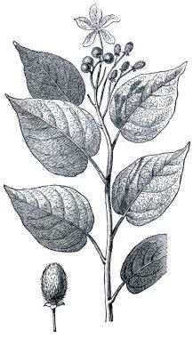 Achiote (Bixa orellana)
