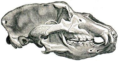 Skull Cave Bear - Ursus spelaeus