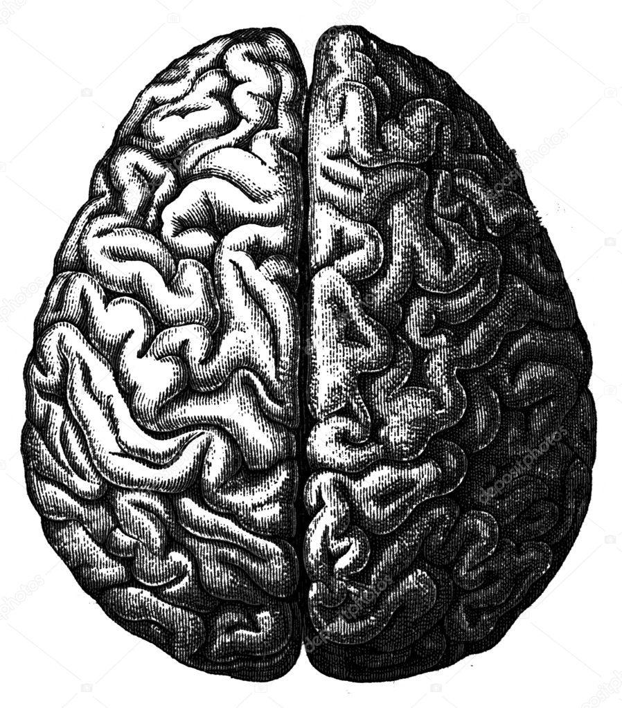 Cerebrum an illustration of the encyclopedia