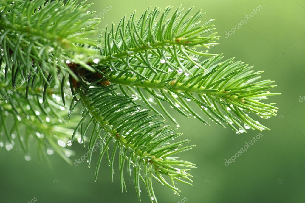 Pine branch with raindrops