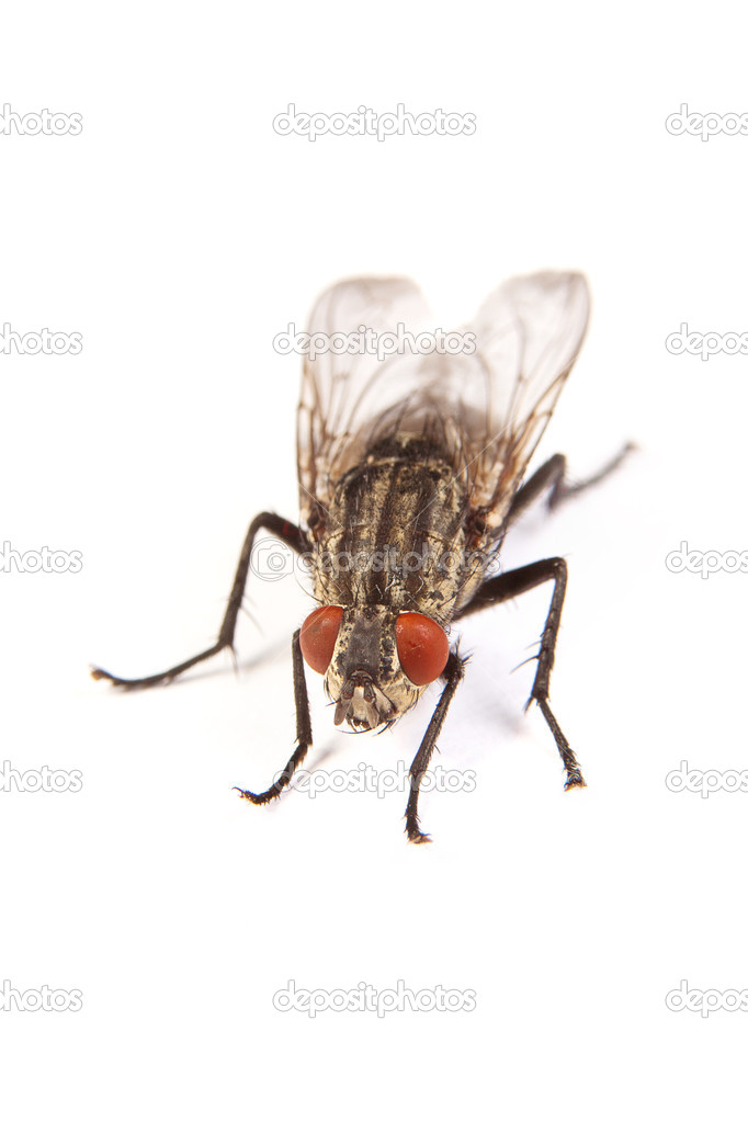 Fly isolated on white. Macro shot of housefly,