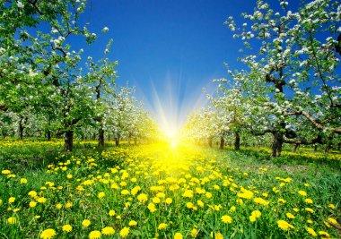 Wonderful apple-trees garden by springtime. stock vector