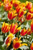 tavaszi mező a színes tulipán