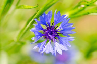 Phyteuma flower close up view stock vector