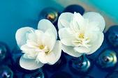 Fotografie delikátní bílých jasmínových květů na vodě