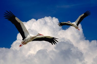 Storks Flying in the Sky with Wings Spread