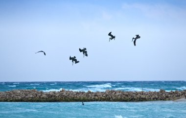 Pelicans looking for their pray