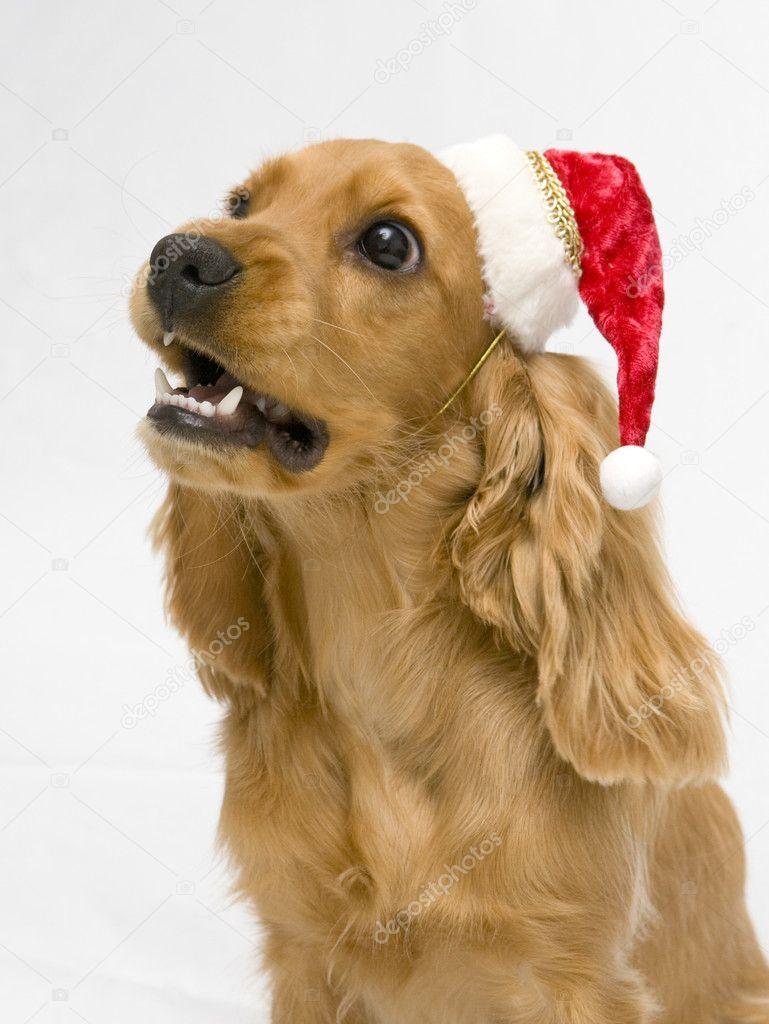 Tollwütiger Hund Mit Einer Nikolausmütze Stockfoto Mishella