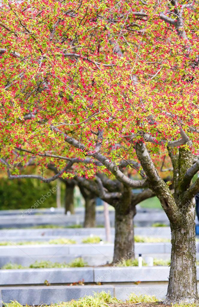 Wiersze O Pięknie Kwitnących Wiśni Na Zielony Trawnik