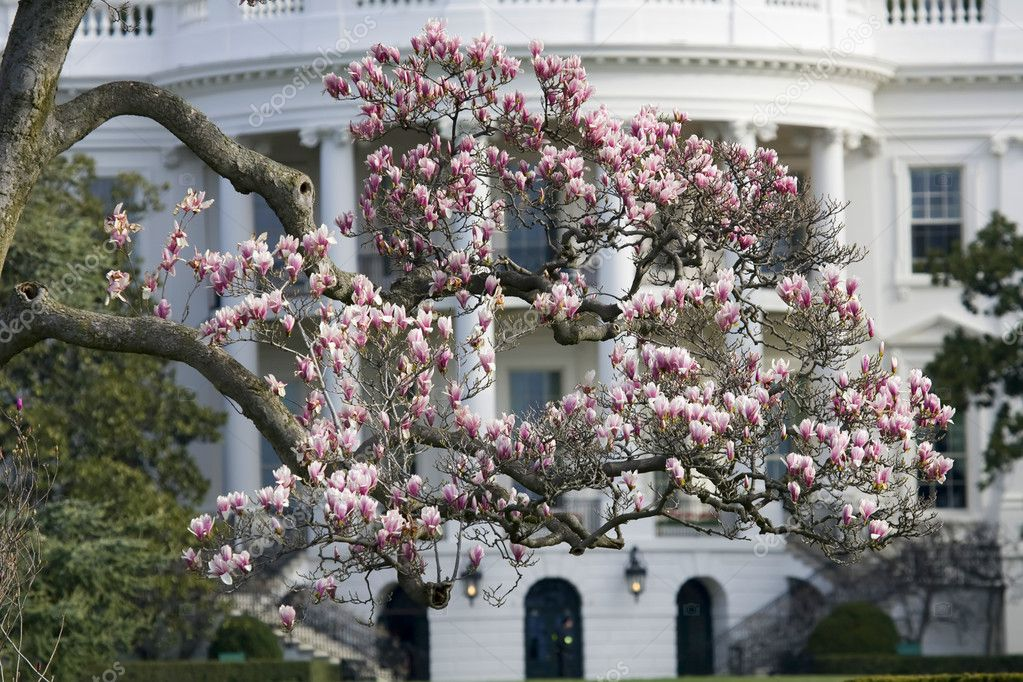Magnolia Blossom Tree In Front Of White House Stock Photo