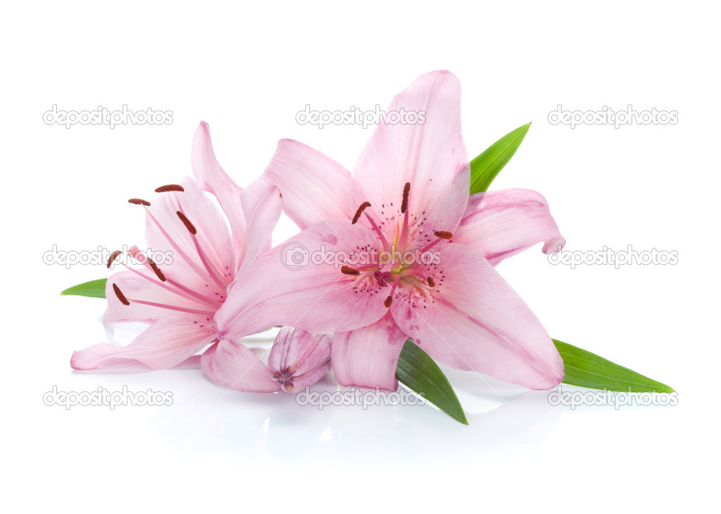 Two pink lily flowers