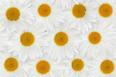 Fotografie Chamomile flower background