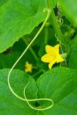 Az uborka, zöld levelek alapon sárga virág