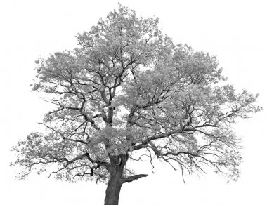 Black and white (monochrome) picture of a single oak tree