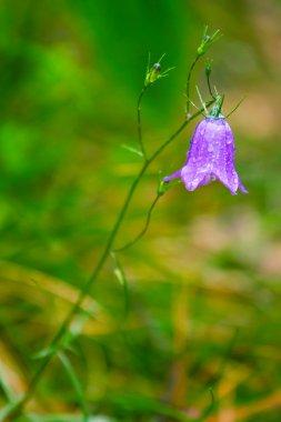 Closeup of blue bell flower after the rain