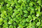 Fotografie Green leaves background