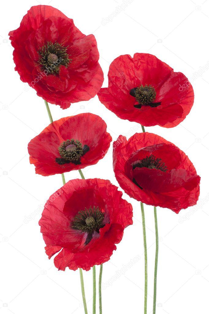 Poppy Flowers Stock Photo Vilor 11537699
