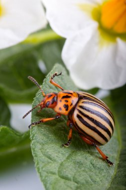 Colorado potato beetle eating leaf