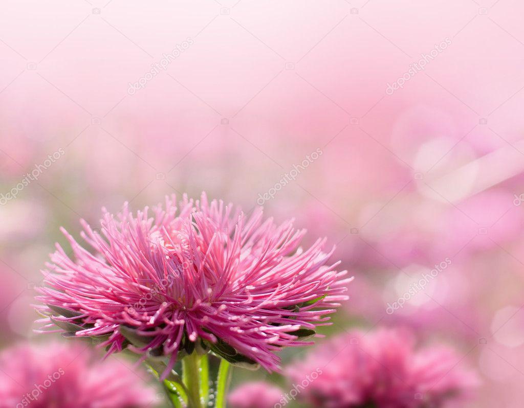 Beautiful pink aster