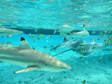 Snorkeling with tropical sharks and stingrays