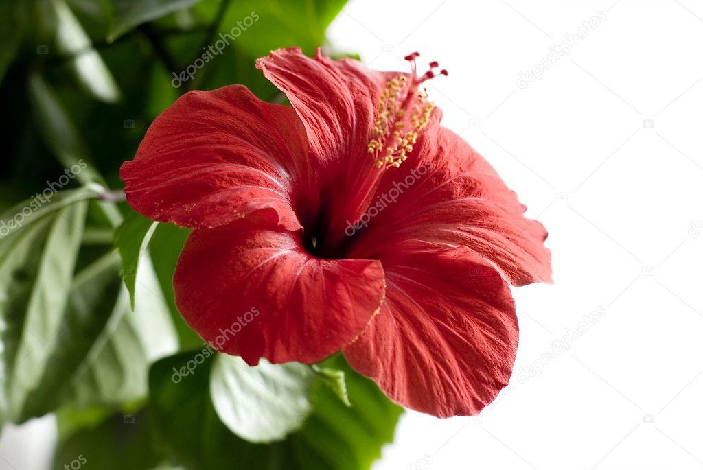 Hibiskus Blume isoliert auf weiss — Stockfoto © applea #11141763