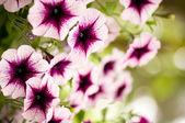 Fotografie fialové květy
