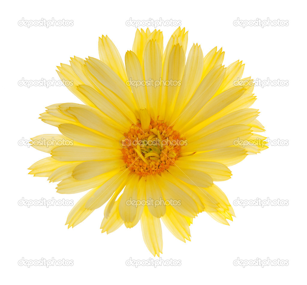 Single Light Yellow Flower Stock Photo Drs 12356412