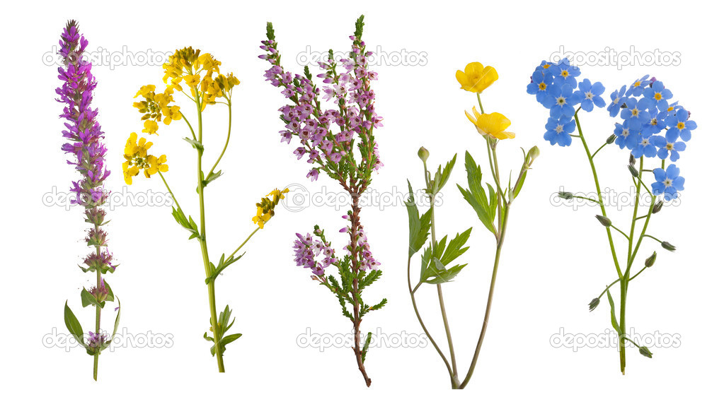 Five wild flowers isolated on white