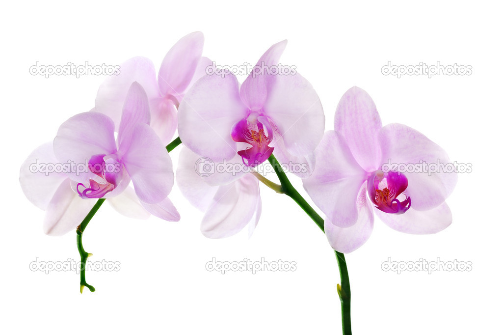 Light Pink Orchid Flower Branch On White Stock Photo Drs