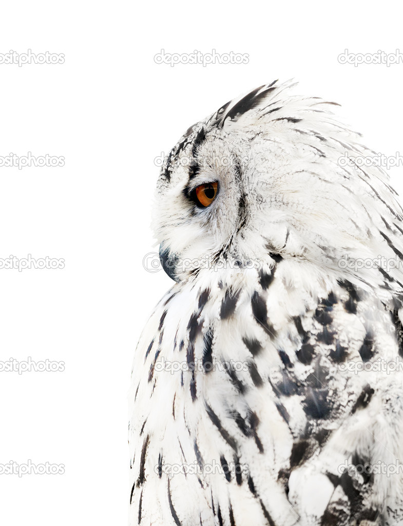 White and black isolated owl