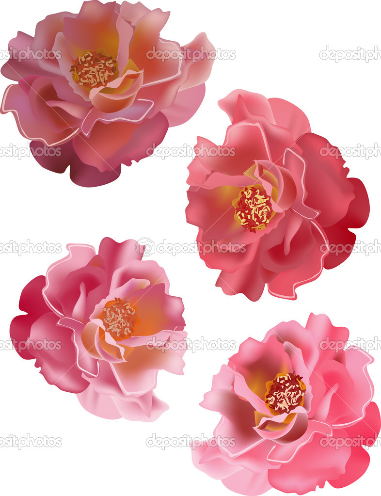 four pink isolated roses
