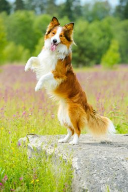 Border collie dog rearing up on the flowers background