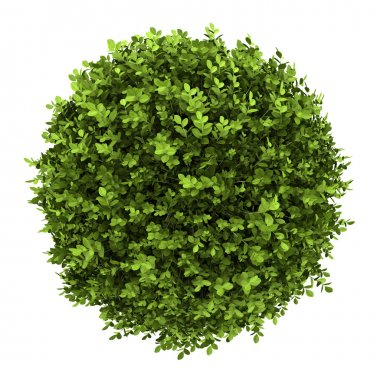 Top view of dwarf english boxwood isolated on white background stock vector