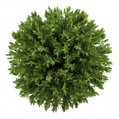 Top view of bay laurel bush isolated on white background