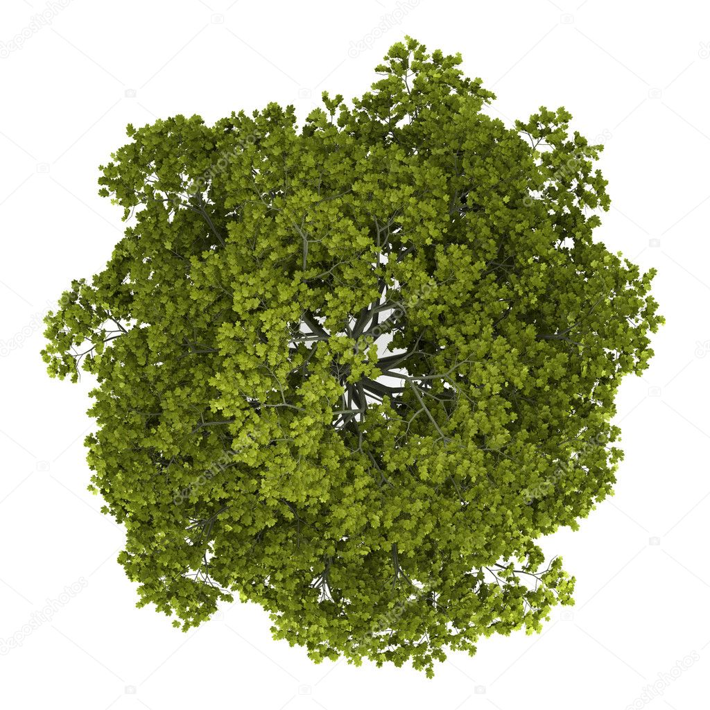 Top view of norway maple tree isolated on white background