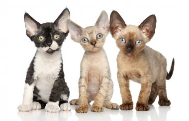 Devon-Rex kitten group on white background
