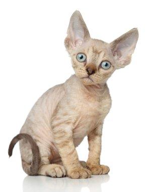 Devon-Rex kitten on white background