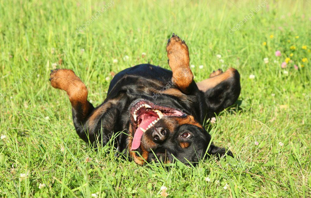 Happy Rottweiler resting on green grass