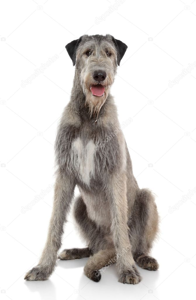 Happy Irish Wolfhound sits on a white background