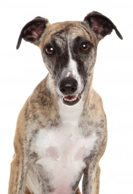 Whippet close-up portrait on a white background