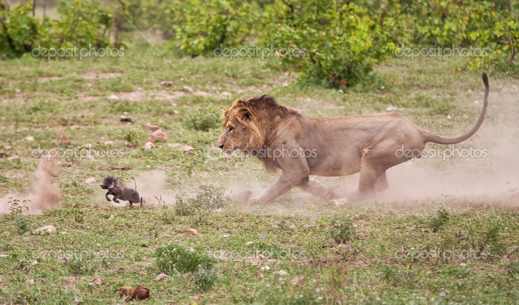 Male lion chasing baby warthog
