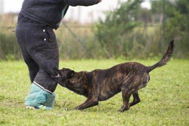 Biting Holland Shepherd