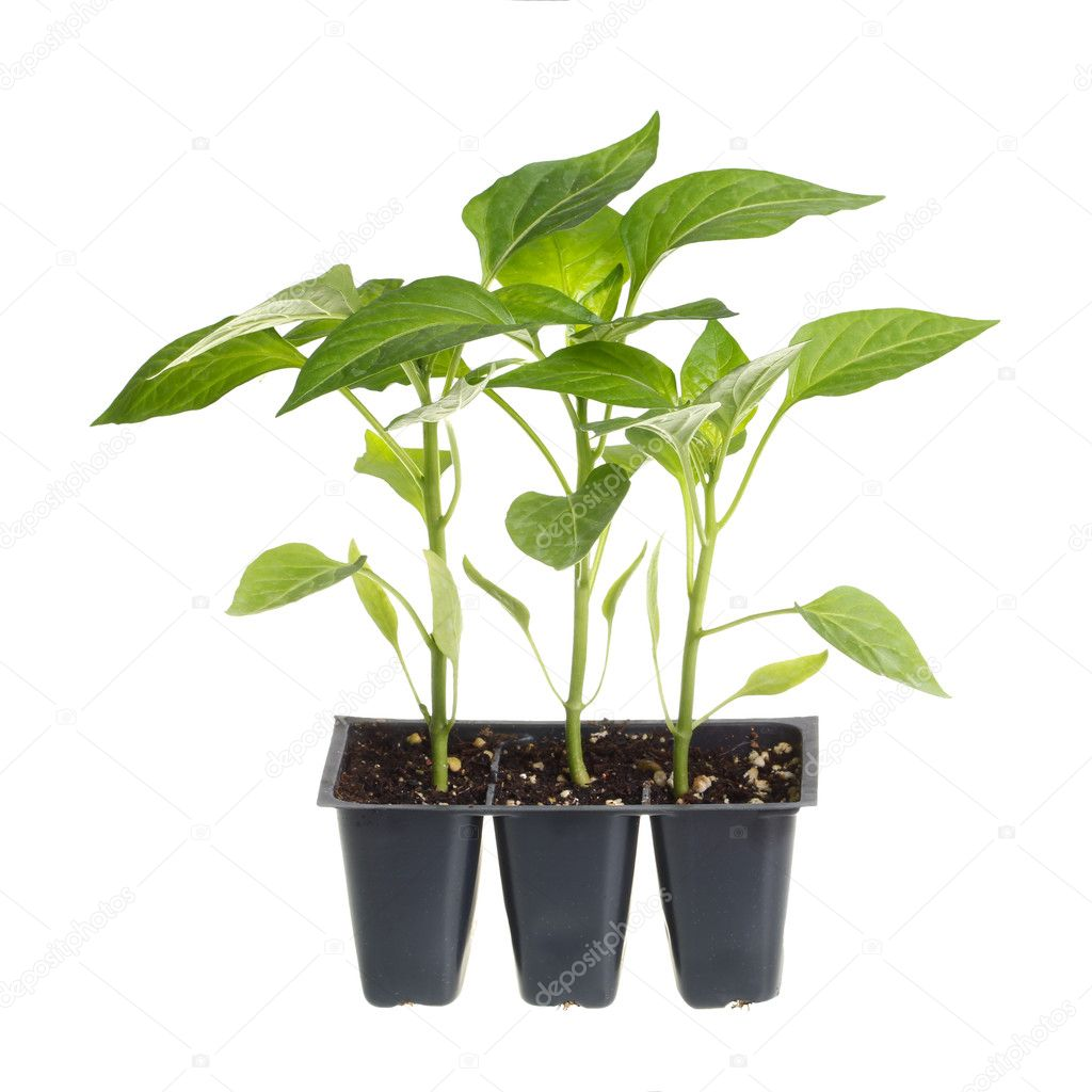 Pack of three pepper seedlings isolated against white