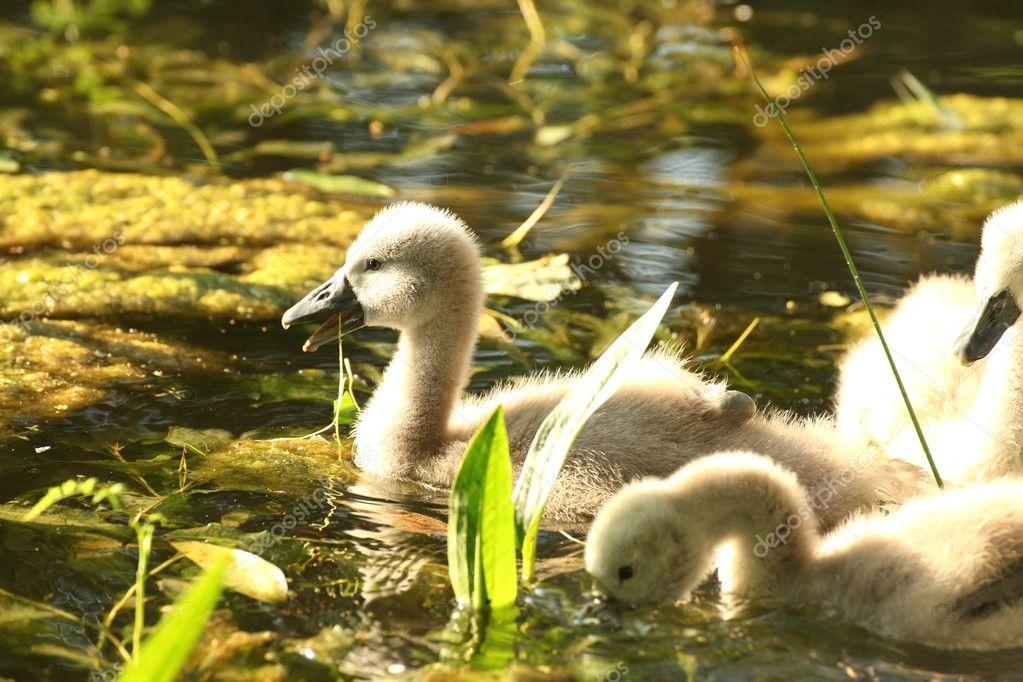 Cygnet in the pond