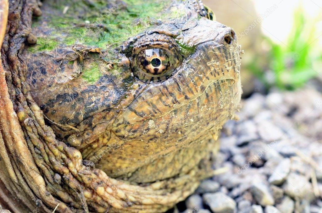 Que suis-je Martine 16/02 - bravo Ajonc Depositphotos_11050314-stock-photo-snapping-turtle
