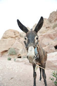 Donkey in Petra, Jordan desert