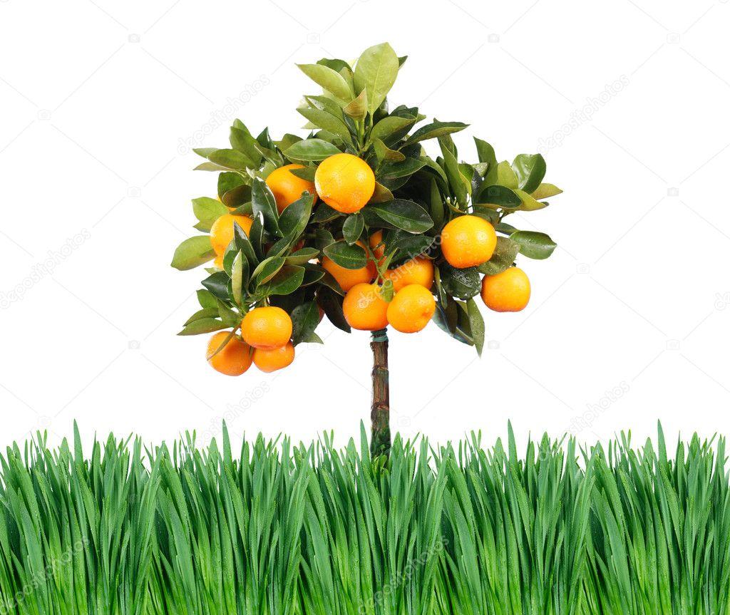 Grass and orange tree