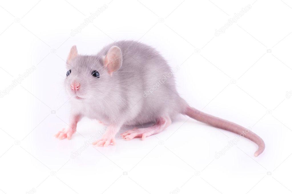 Baby rat isolated