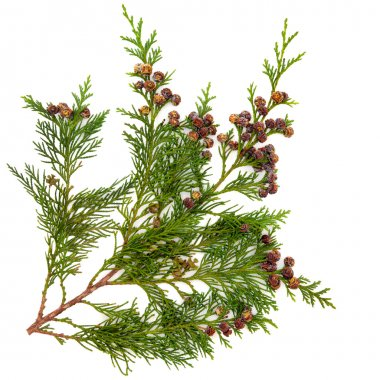 Cedar cypress leyland leaf branch with pine cones over white background. stock vector